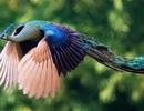 Khoảnh khắc hiếm có khi chim công tung cánh bay