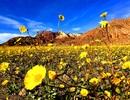 """Thảm hoa đột nhiên bừng nở ở """"Thung lũng chết"""""""