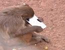 Tóm điện thoại du khách đánh rơi, khỉ con đập phá trong tích tắc