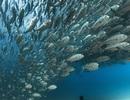 """Ngạt thở với """"cơn lốc"""" cá dưới đáy đại dương"""