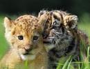 """Khoảnh khắc sư tử và hổ con """"làm bạn"""" trong vườn bách thú"""