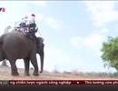 Báo động sức khoẻ đàn voi nhà Tây Nguyên