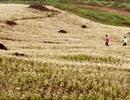Tam giác mạch trên Lào Cai nở sớm hơn Hà Giang