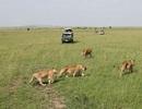 Sang Kenya xem... sư tử