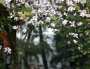 Sắc hoa ban nhuộm tím trời Hà Nội