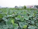 Người Hà Nội thích thú tìm mua hoa sen đầu mùa