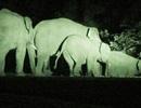 Vụ voi rừng dính bẫy: Cứu hộ vẫn chưa phù hợp
