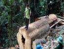 Hạ bậc lương, cảnh cáo cán bộ kiểm lâm để rừng bị phá