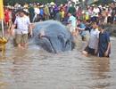 Cá voi nặng khoảng 8 tấn chết dạt vào biển Nghệ An
