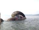 Hình ảnh cá voi nặng tầm 8 tấn chết dạt vào biển Nghệ An