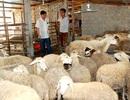 Chàng trai 8X xây dựng mô hình nuôi cừu đầu tiên ở Nghệ An