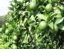 Nông dân thu hàng trăm triệu đồng nhờ trồng chanh tứ quý