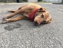 Chủ bị xe tông chết, chó thẫn thờ nằm đợi
