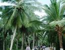 TPHCM sẽ trồng dừa làm cây xanh ven kênh rạch, đường phố mới?