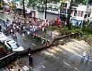 TPHCM: Khẩn trương tìm phương án chống cây xanh gãy đổ đè chết người