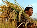 Nuôi gà 70 ngày chỉ bằng cốc trà đá, trồng lúa lãi 25.000 đồng/ngày