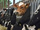 Vì sao Úc cấm xuất khẩu bò sang Việt Nam?