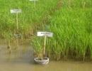 Giống lúa mới giúp nông dân thích ứng với biến đổi khí hậu