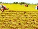 """Bài 2: """"Chân dung"""" chuỗi giá trị lúa gạo ở Việt Nam"""