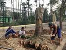 Tổng Thanh tra Chính phủ yêu cầu thanh tra trung thực việc chặt cây xanh