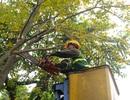 Hà Nội mời chuyên gia Singapore sang hướng dẫn cắt tỉa cây xanh