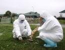 Quảng Trị: Tạm thời kiểm soát được dịch cúm gia cầm