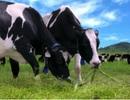 Cơ hội mục sở thị trang trại bò sữa xuất sắc nhất Việt Nam