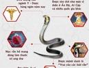 Infographic: Những tác dụng kinh điển của Rắn hổ mang với bệnh khớp