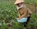 Bỏ lúa, trồng ngô: Nông dân thu hàng chục tỷ đồng