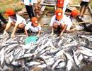 Luật Nông Trại Mỹ chưa ảnh hưởng đến xuất khẩu cá tra trong năm nay