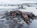 Rừng sồi 5.000 năm tuổi xuất hiện giữa bãi biển