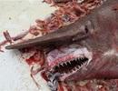 Kinh ngạc bắt được cá mập yêu tinh ngoài biển Florida