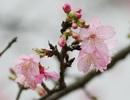 Hoa Anh đào Nhật Bản bung nở giữa Hà Nội