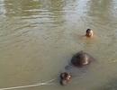 Xem cảnh nhiều người vật lộn giải cứu con bê dưới dòng kênh