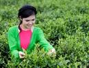Thái Nguyên và hướng phát triển du lịch dựa vào đặc sản Trà