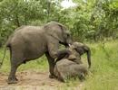 Hài hước cảnh đàn voi say rượu túy lúy ngã liêu xiêu