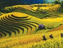 Chiêm ngưỡng những cánh đồng lúa đẹp hút hồn du khách