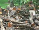 Bãi tập kết gỗ khủng sau giông lốc ở Hà Nội