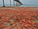 """""""Choáng"""" trước cảnh hàng trăm ngàn con cua đổ bộ vào bờ biển nước Mỹ"""