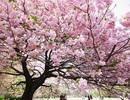 Thư 8/3: Hoa anh đào ở Chiang Mai