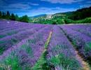 Lavender: Sắc tím tràn ngập trong ẩm thực
