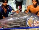 Huyền thoại cá hô khổng lồ trên dòng Cửu Long