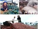 Nông sản rớt giá thê thảm: Nông dân, thương nhân…cùng khóc!