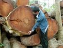 Hà Nội sẽ báo cáo Thủ tướng vụ chặt hạ, thay thế cây xanh