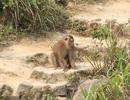 Con khỉ dữ cắn du khách trên đỉnh Sơn Trà từ đâu ra?