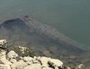 Du khách sợ hãi khi thấy con cá sấu cắn chú chó dưới sông