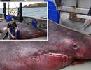 """Ngư dân hốt hoảng khi bắt được """"quái vật biển"""" dài tới 6,5m"""