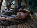 Kỳ dị dịch vụ massage bằng trăn