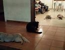 Đàn chó hoang bất ngờ đến viếng tang người từng cho chúng ăn
