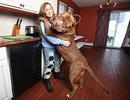 Gặp gỡ chú pitbull to nhất thế giới